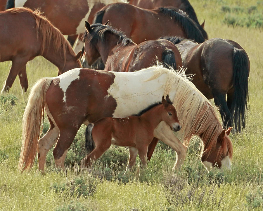 Wild Mustangs Photograph - Mustang Baby by David  Treick