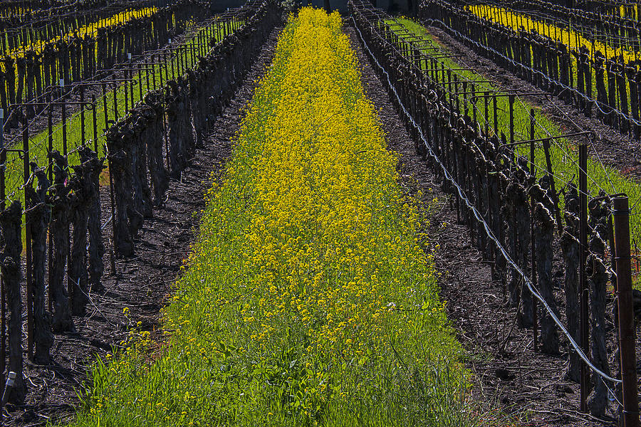 Sonoma Photograph - Mustard Grass In Vineyards by Garry Gay