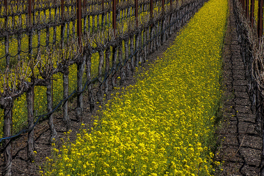 Mustard Grass Photograph - Mustrad Grass In The Vineyards by Garry Gay