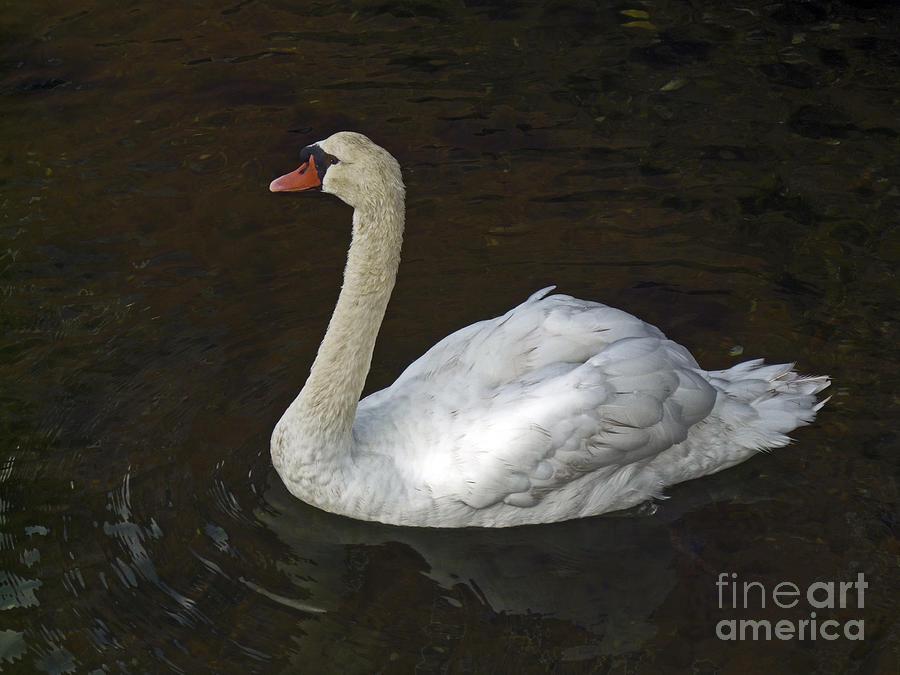 America Photograph - Mute Swan by Howard Stapleton