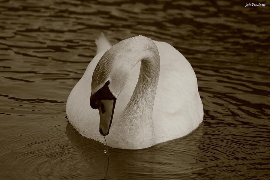 Mute Swan Photograph - Mute Swan - In Sepia by Jake Danishevsky