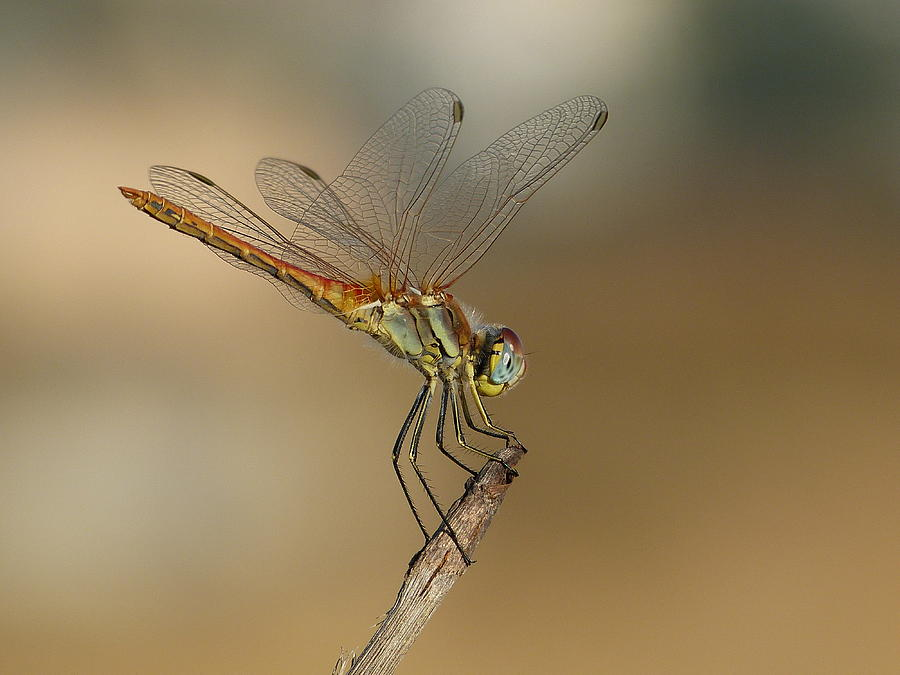 Insects Photograph - My Best Dragonfly by Janina  Suuronen