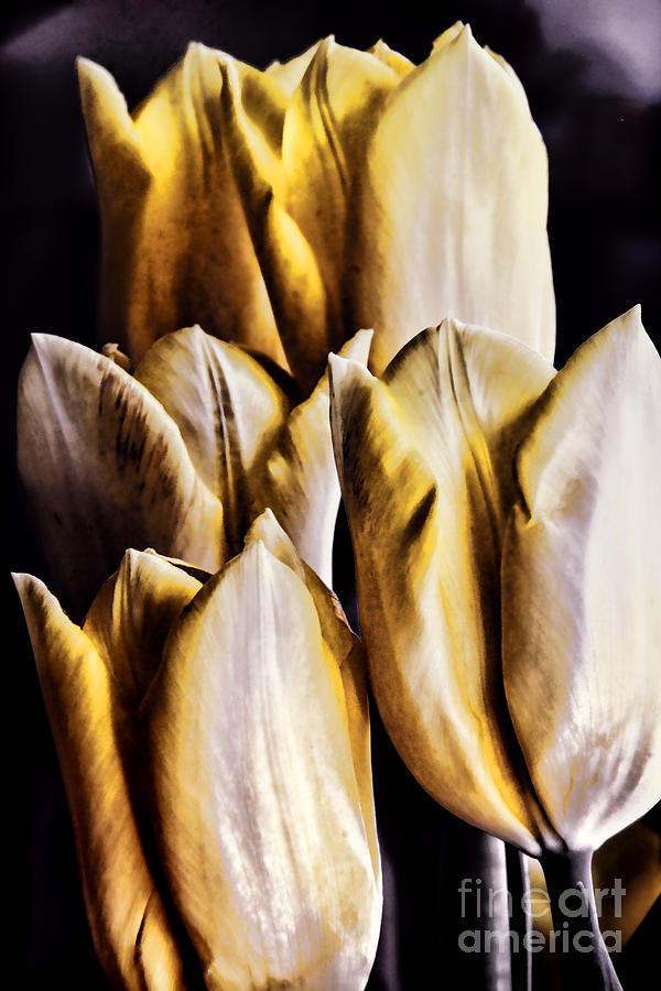 Tulips Photograph - My Favorite Tulips by Mariola Bitner