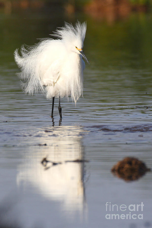 Egret Photograph - My Feathers Are All Poofy by Ruth Jolly