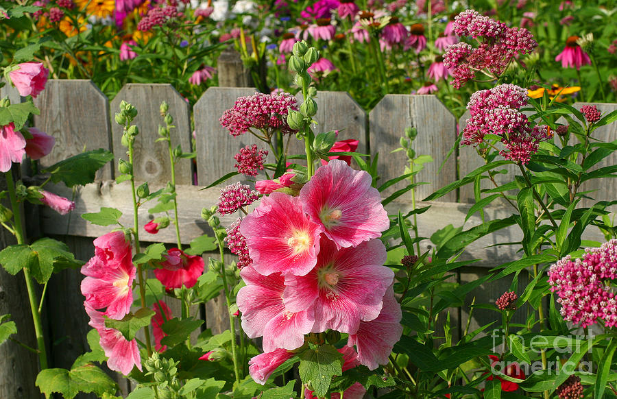 Hollyhocks Photograph - My Garden 2011 by Steve Augustin