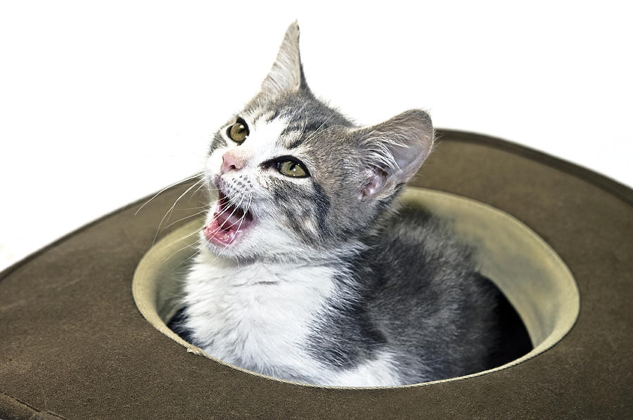 Kitten Photograph - My Hat by Susan Leggett