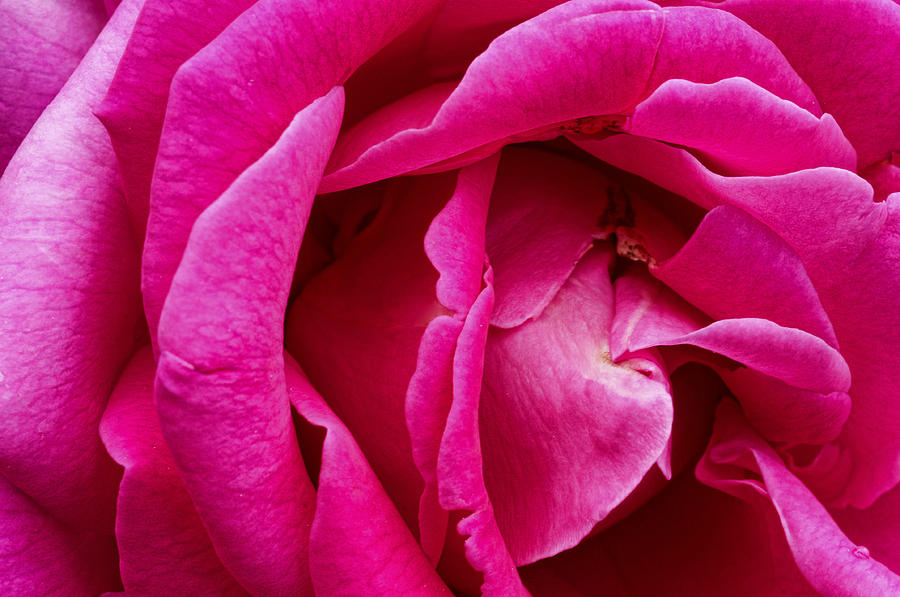 Red Photograph - My Last Rose by Kenneth Feliciano