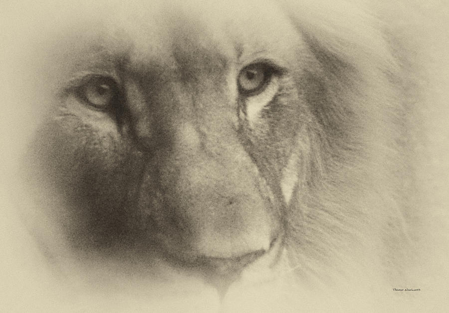 Antique Photograph - My Lion Eyes In Antique by Thomas Woolworth