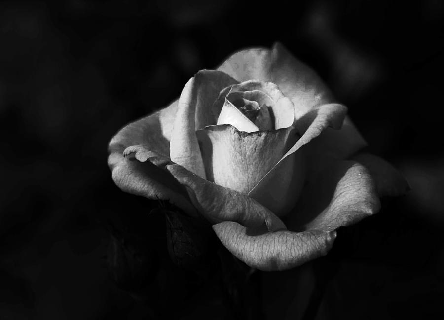 Nature Photograph - My Mothers Rose by Alexandra Carroll