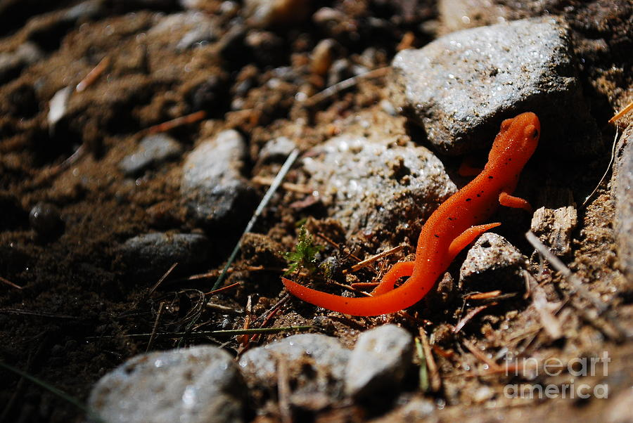 Photograph - My Name Is Ned The Newt by Susan Hernandez