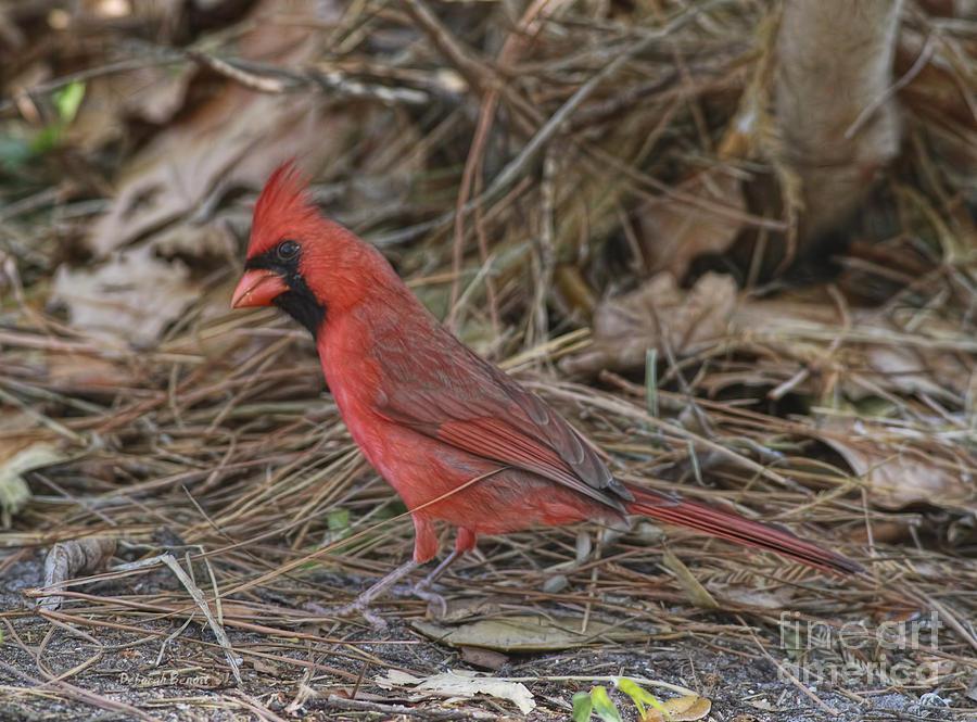 Cardinal Photograph - My Name Is Red by Deborah Benoit