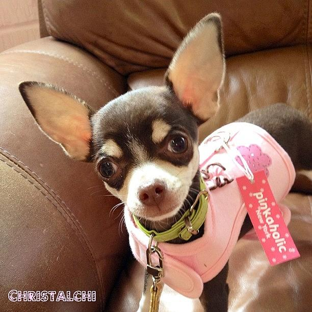 My New Chihuahua Harness! Photograph by Susan Crowley