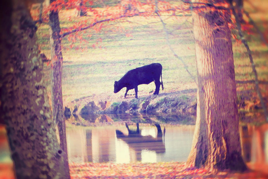 Black Cow Photograph - My Own Paradise by Amy Tyler