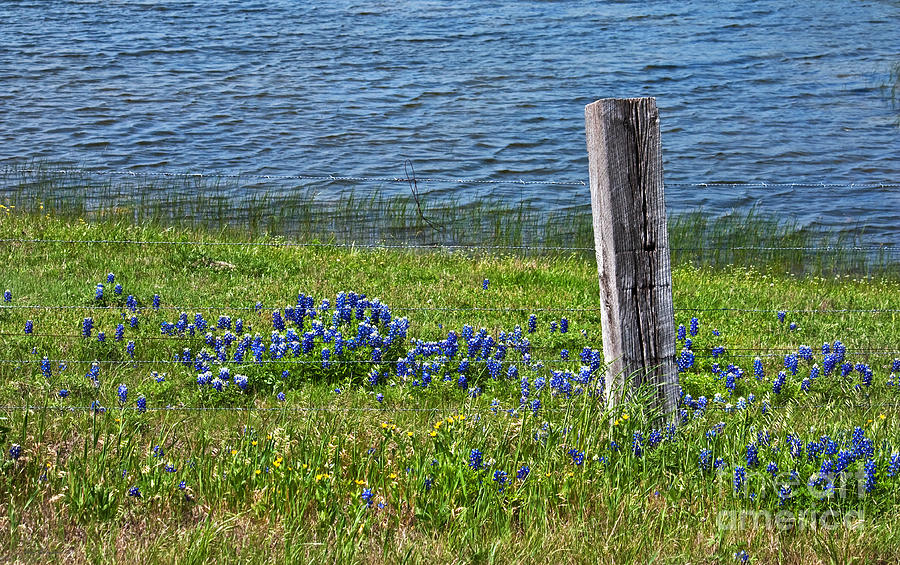 Bluebonnets Photograph - My Peace by Lisa Holmgreen