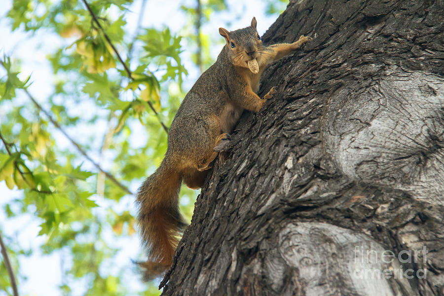 Squirrel Photograph - My Peanut by Robert Bales