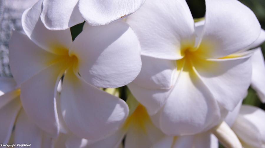 My Plumeria  Photograph by Gornganogphatchara Kalapun