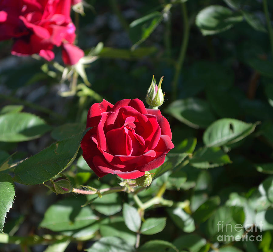 Indiana Photograph - My Red Rose by Alys Caviness-Gober