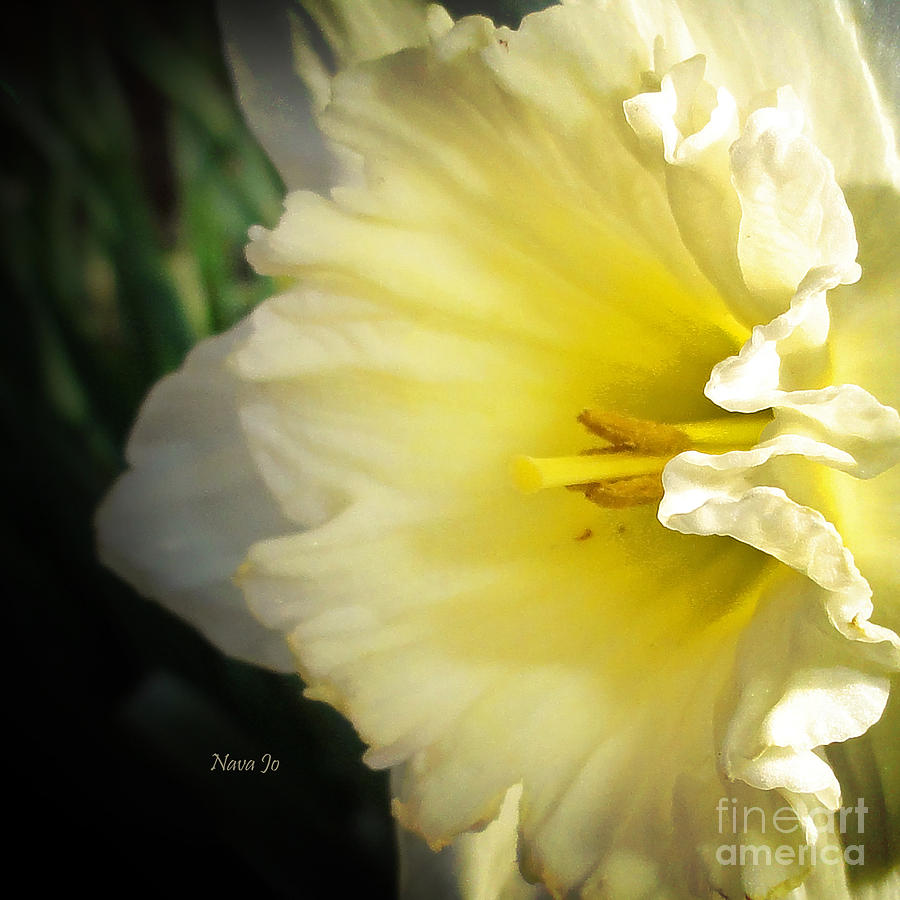 Daffodil Photograph - My Spring Love by Nava Thompson