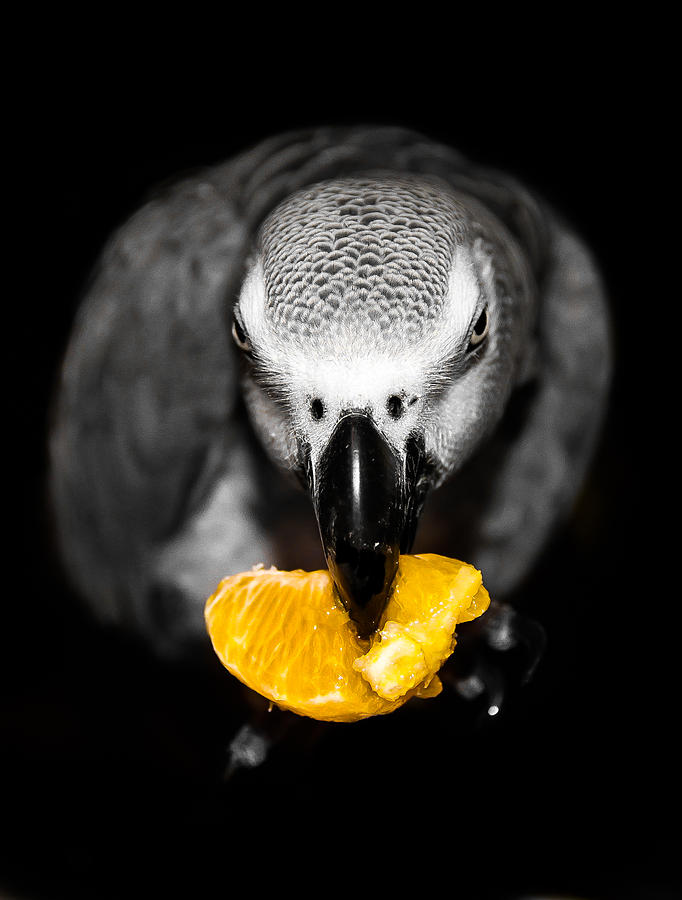 Parrot Photograph - My Sweet Clementine  by Paulina Szajek