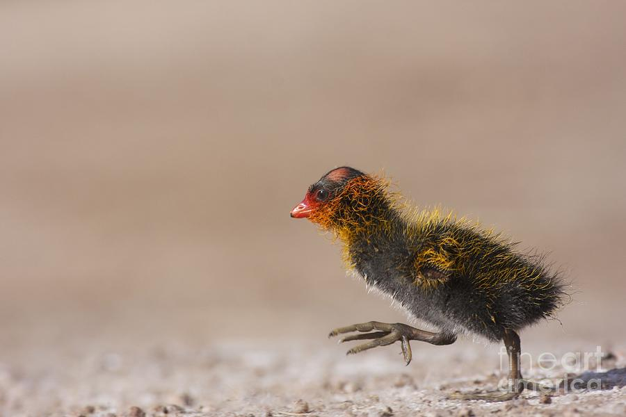 Coot Photograph - My What Big Feet You Have by Ruth Jolly