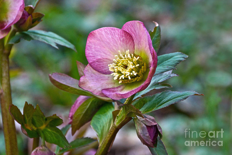 Christmas Rose Photograph - My Wild Xmas Rose by Byron Varvarigos