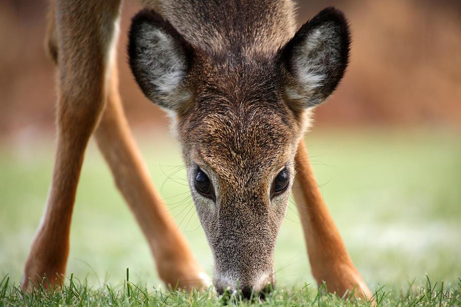 Deer Photograph - My Winter Lawnmower by Karol Livote