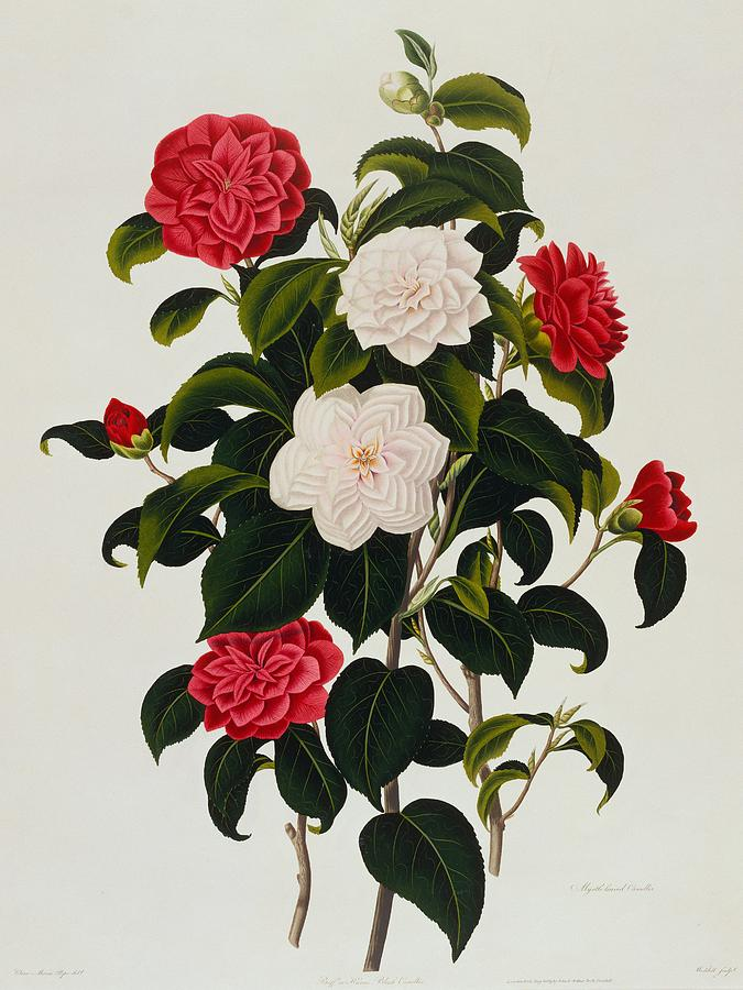 Flower Painting - Myrtle Leaved Camellia by Clara Maria Pope