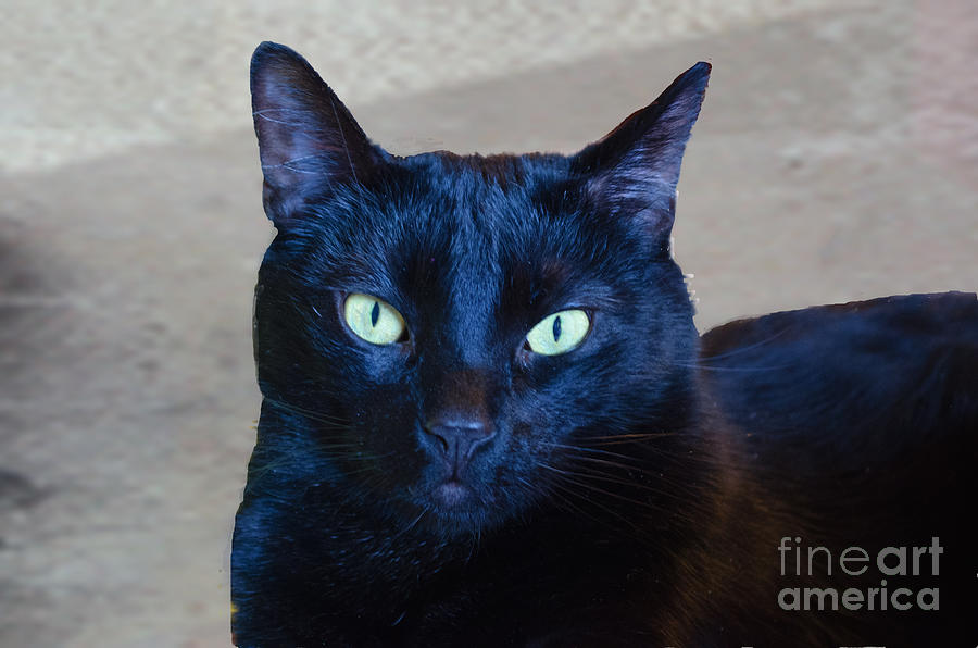 Majestic Black Cat Photograph - Mysterious Black Cat by Luther Fine Art