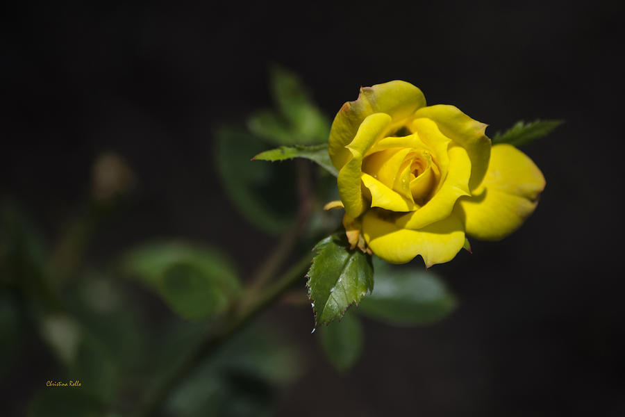 Rose Photograph - Mystic Yellow Rose by Christina Rollo
