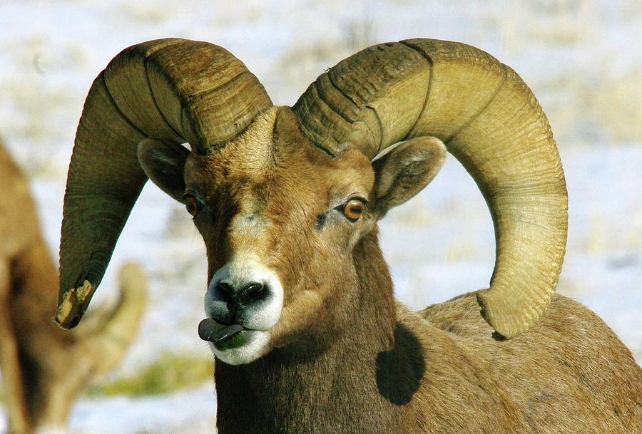 Bighorn Sheep Photograph - Na Na Nanny Poo by Jeff Swan