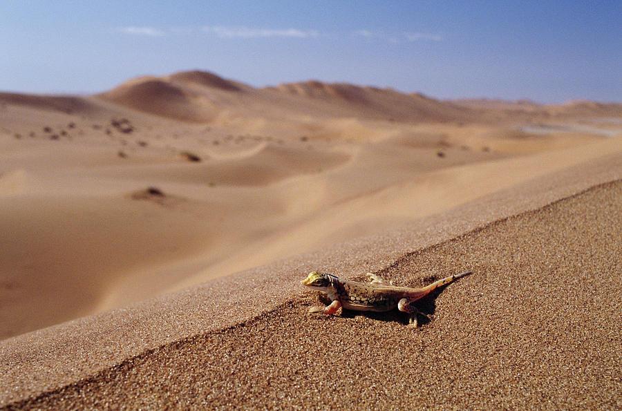 Namib Sanddiver Aporosaura Anchietae Photograph by Michael and Patricia Fogden