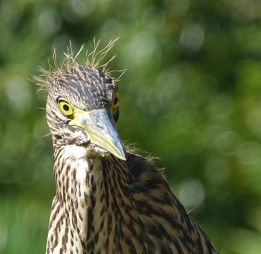Nankeen Night Heron Photograph - Nankeen Night Heron Junior by Margaret Saheed