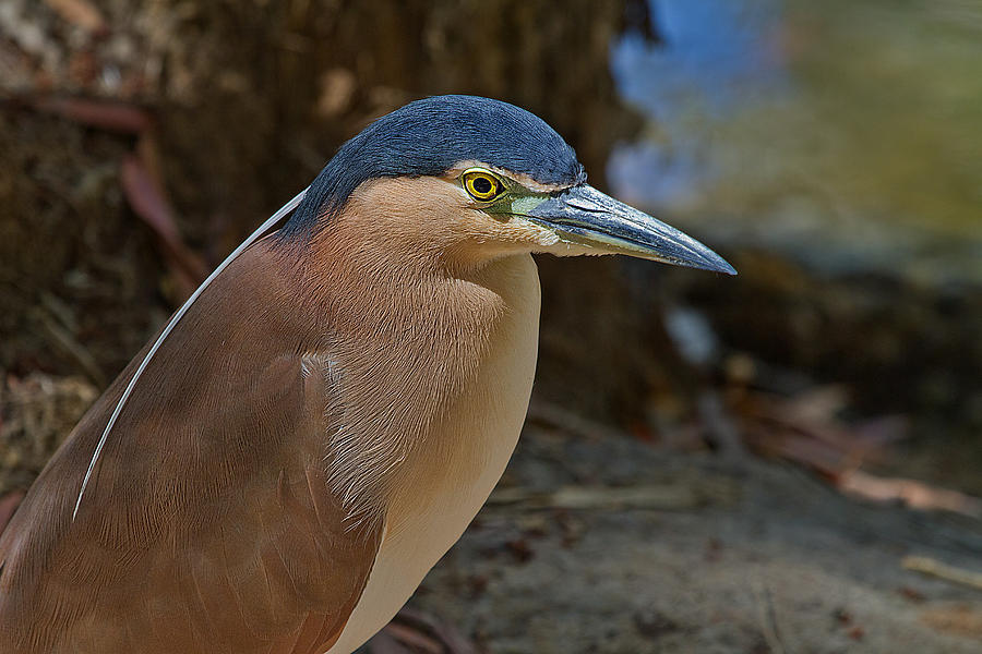 Wildlife Photograph - Nankeen Or Rufous Night Heron by Mr Bennett Kent