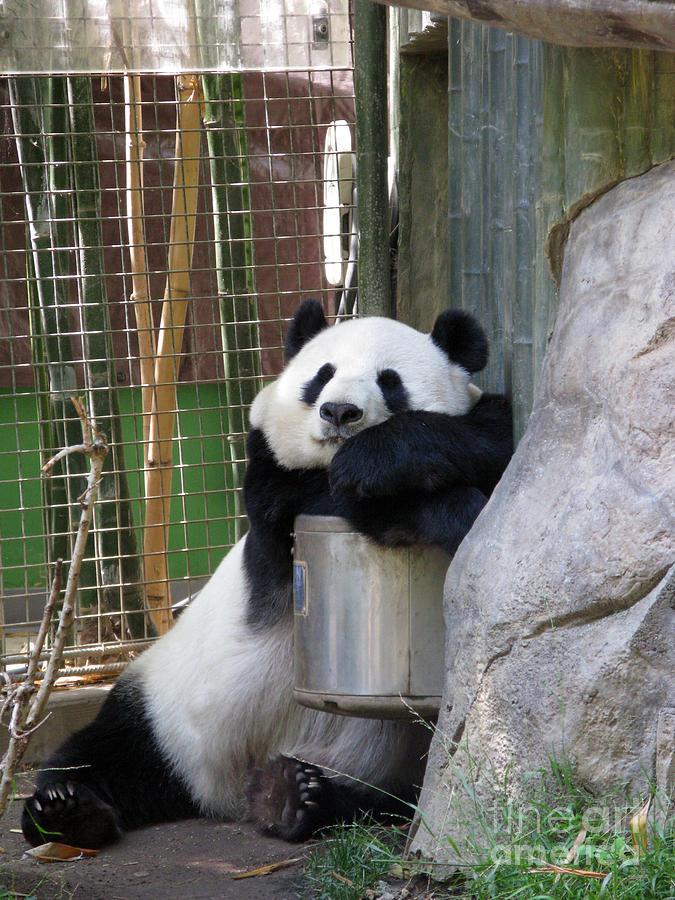 Giant Panda Photograph - Nap Time by Ausra Huntington nee Paulauskaite
