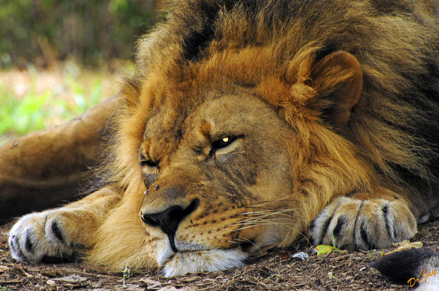 Lion Photograph - Nap Time by Jay Walshon MD