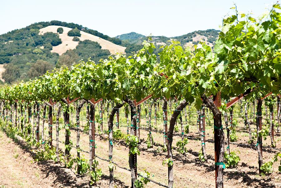 Napa Photograph - Napa Vineyard Grapes by Shane Kelly