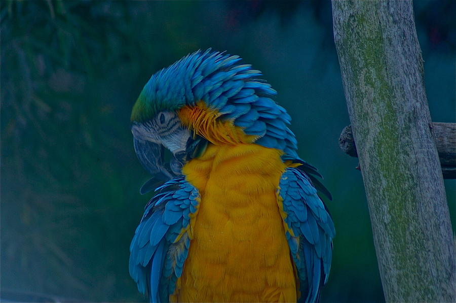 Macaw Photograph - Napping by Colleen Renshaw