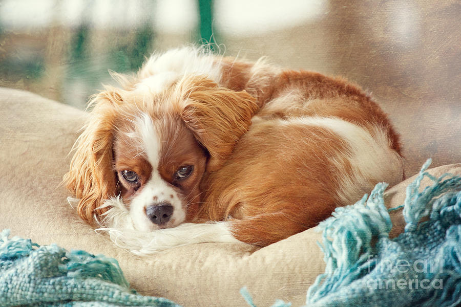 Cavalier King Charles Photograph - Napping Puppy by Kay Pickens
