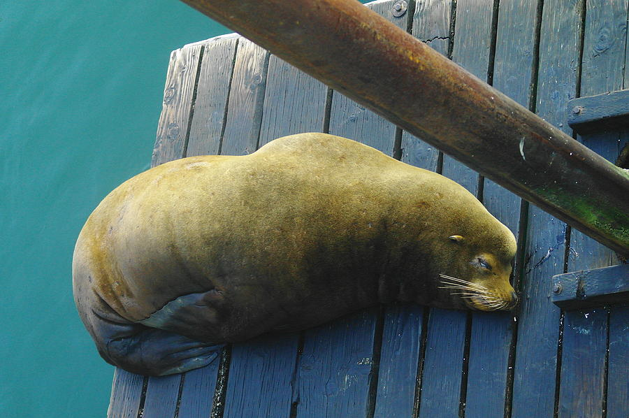Animals Photograph - Napping Sea Lion by Jeff Swan