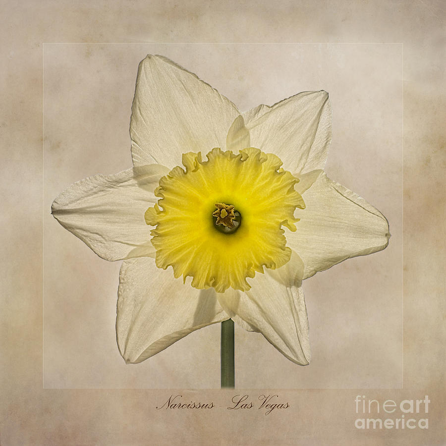 Jonquil Photograph - Narcissus Las Vegas by John Edwards