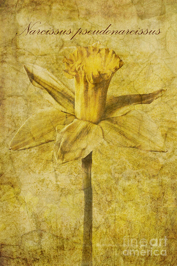 Jonquil Photograph - Narcissus Pseudonarcissus by John Edwards