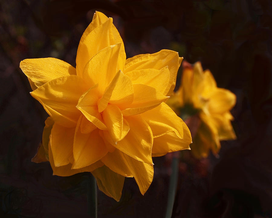 Daffodils Photograph - Narcissus Sweet Sue In Full Bloom by Rona Black