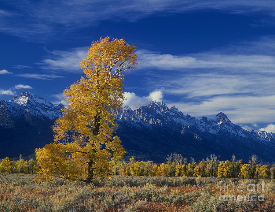 Dave Welling Photograph - Narrowleaf Cottonwoods Fall Color Teton by Dave Welling