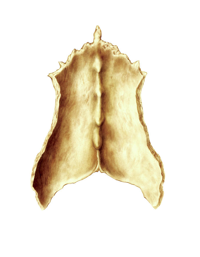 Nasal Bone Photograph By Asklepios Medical Atlas