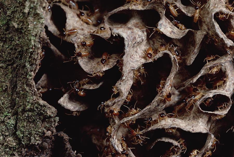 Feb0514 Photograph - Nasute Termite Nest Amazonian Peru by Mark Moffett