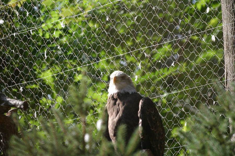 National Photograph - National Zoo - Bald Eagle - 12121 by DC Photographer