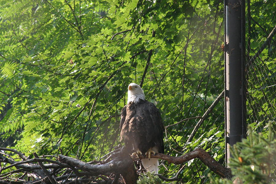 National Photograph - National Zoo - Bald Eagle - 12122 by DC Photographer