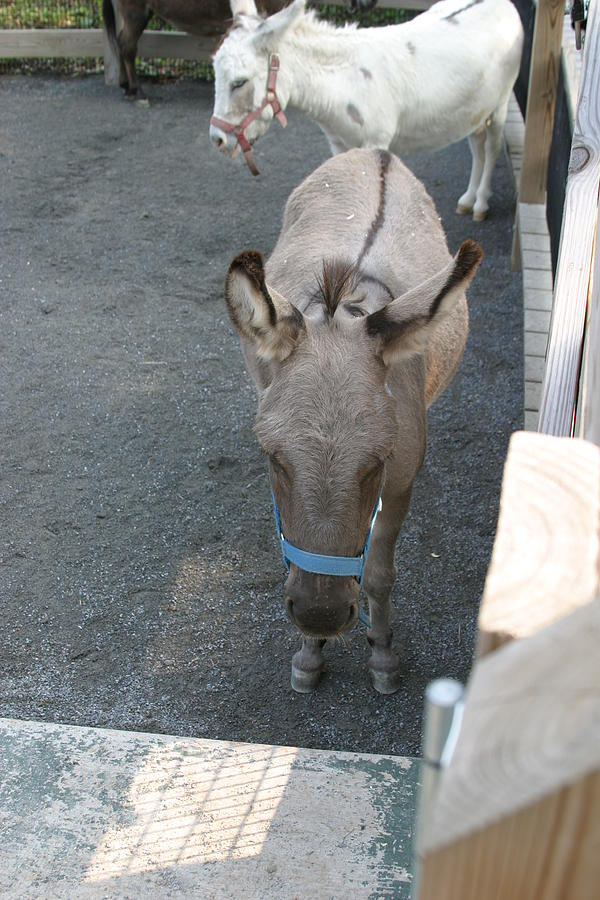 National Photograph - National Zoo - Donkey - 12127 by DC Photographer