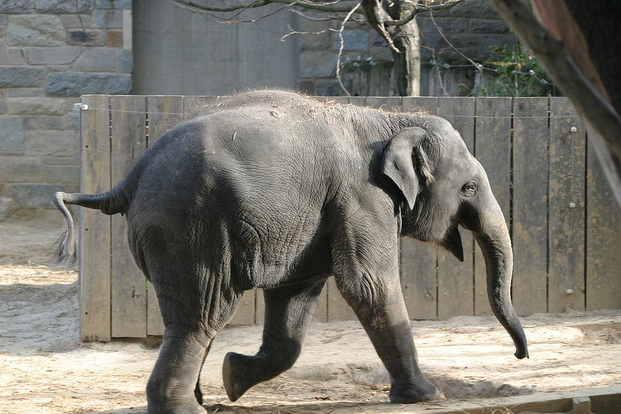 National Photograph - National Zoo - Elephant - 12126 by DC Photographer