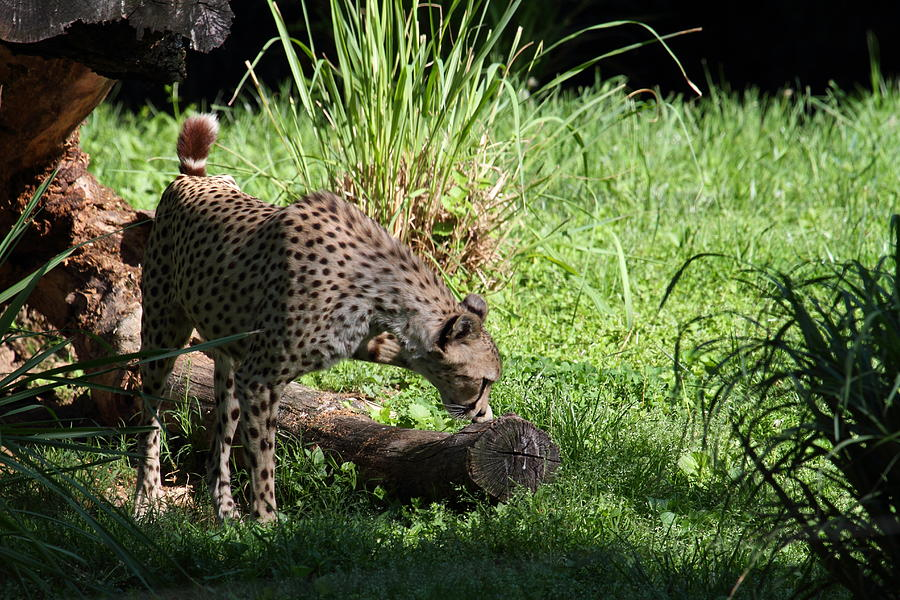 National Photograph - National Zoo - Leopard - 01136 by DC Photographer